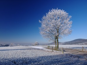 tree in winter with frost