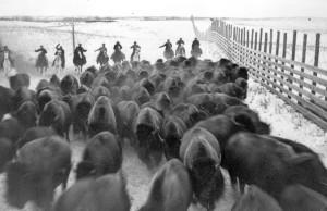 natives herding bison
