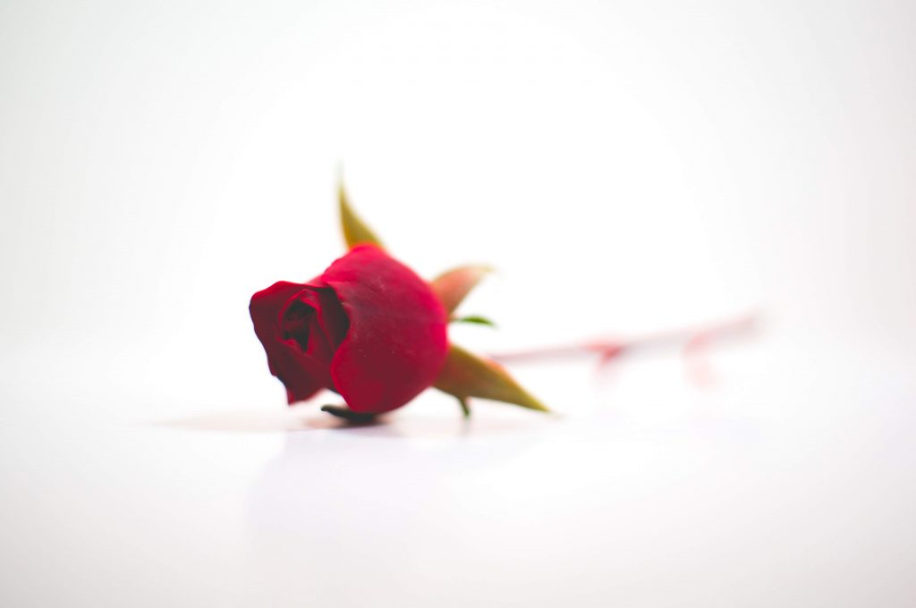 red-rose-on-white-background
